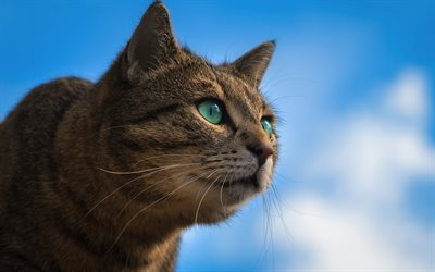 gray cat, green eyes, blue sky, portrait of a domestic cat, breeds of short-haired cats