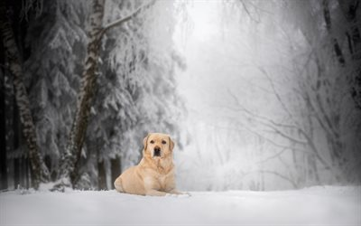 Labrador Retriever, good dog, domestic dog, winter, snow, cute animals, big dogs