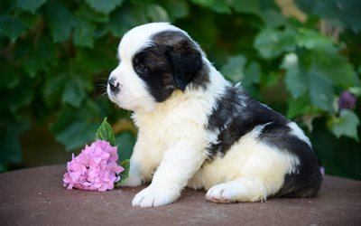 Saint Bernard, 4k, flower, puppy, pets, dogs, cute animals, Saint Bernard Dog