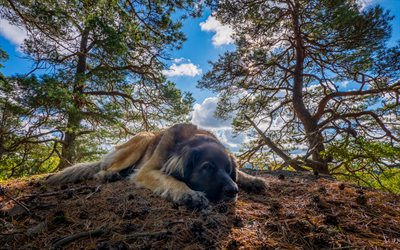 4k, Leonberger Dog, forest, pets, cute animals, dogs, fluffy dog, Leonberger