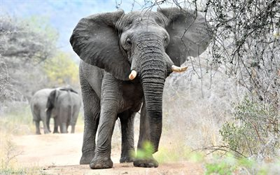 big elephant, wildlife, Africa, nature reserve, gray elephant