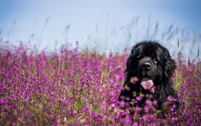 Newfoundland, 4k, dogs, lawn, funny animals, pets, black newfoundland, cute dog, Newfoundland Dog
