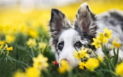 Aussie, yellow daffodils, cute animals, Australian Shepherd, pets, Aussie with flowers, dogs, bokeh, Australian Shepherd Dog, Aussie Dog