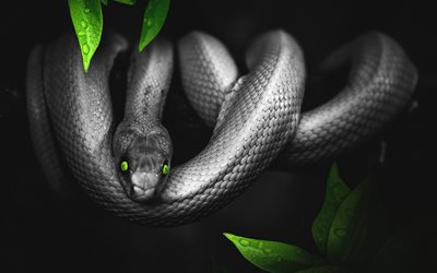 Black snake, 4k, reptiles, Pantherophis obsoletus, snake with green eyes, wildlife, snake