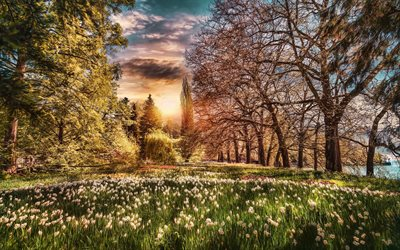 Lake Constance, Bodensee, spring, daffodils field, park, Germany, Europe