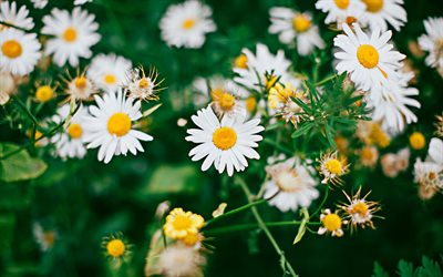 chamomile, 4k, spring, bloom, white flowers, Matricaria chamomilla, spring flowers