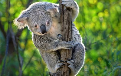 Koala, marsupial, tree, Australia, cute animals