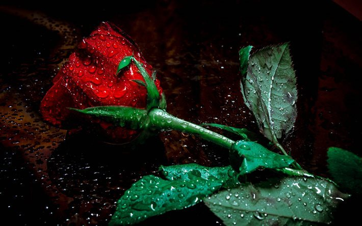 Download wallpapers roses water drops dew red rose - Rose with water drops wallpaper ...