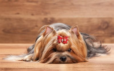 Yorkshire terrier, dogs, bow, cute animals