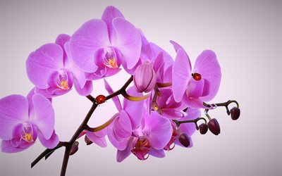 Pink orchid, tropical flowers, orchid branch, beautiful flowers
