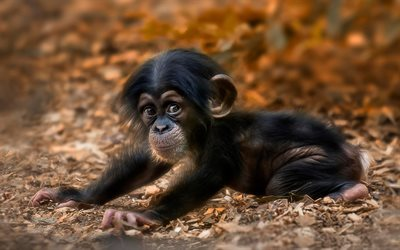 chimpanzee, monkey, cub, cute animals