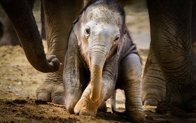 small elephant, cub, Africa, elephants, cute animals