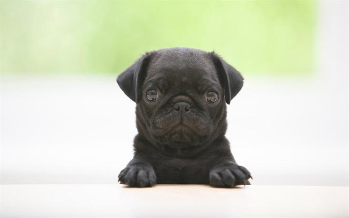 Amazing Pug Black Adorable Dog - thumb2-black-pug-puppy-dogs-cute-animals-small-pug  Image_576592  .jpg