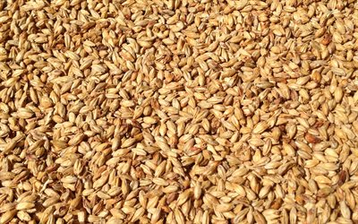 wheat grains texture, wheat harvest concepts, wheat background, cereals, wheat texture