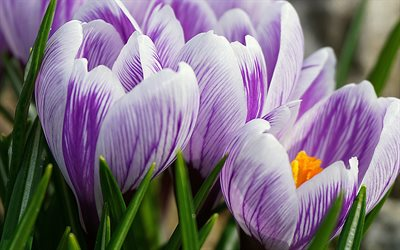 pink-purple crocuses, spring flowers, background with crocuses, purple crocuses, beautiful flowers, crocuses