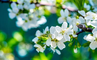 spring, flowering, apple