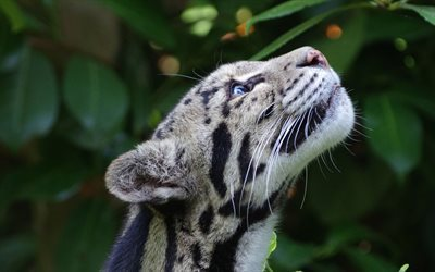 nature, wild cat, clouded leopard