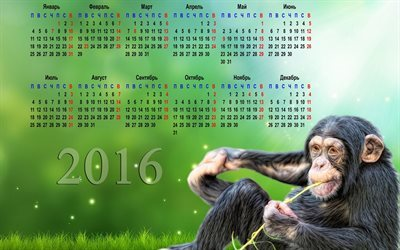 calendar, 2016, chimpanzees