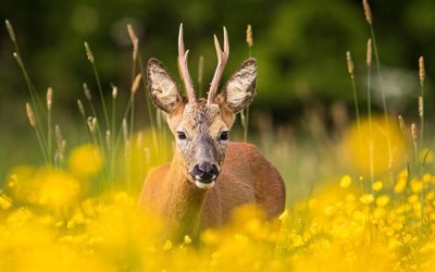 summer, flowers, wildlife, roe
