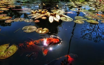 water, fish, pond, brocade carp