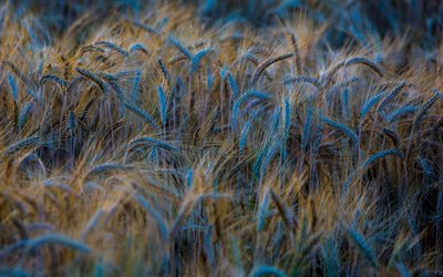 nature, field, wheat, spikelets