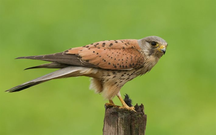 bird of prey, falco tinnunculus, kestrel, europa