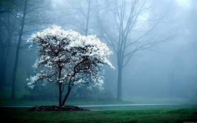 morning mist, park, spring, flowering tree