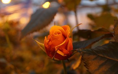 rose, flowers, bud