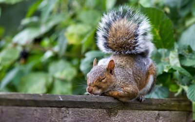 wooden fence, red squirrel, sleeping