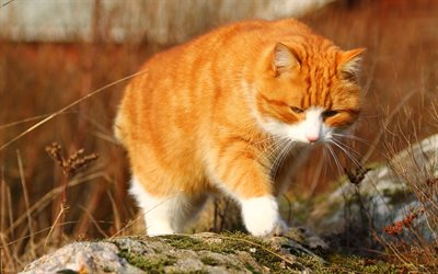 ginger cat, pets, cats, big cat