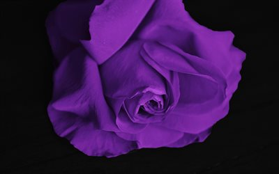 Purple rose, rosebud, purple flowers, roses