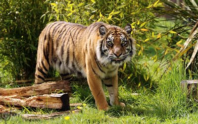 Amur tiger, predator, tigers, wildlife, young tiger