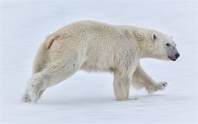 Polar bear, winter, North Pole, bears, predator