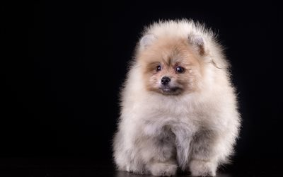 Pomeranian, puppy, cute animals, small dog, fluffy dog