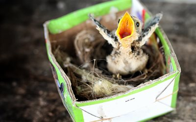 chick, paper box, small bird, nest