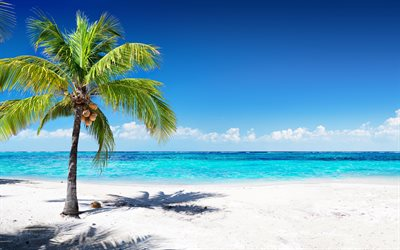 coconuts on palm tree, tropical island, travel concepts, summer, ocean, blue lagoon, azure, beach, sand, waves, palm