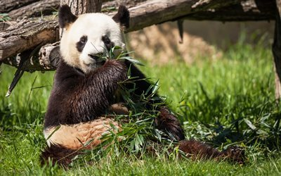 panda, cute animal, bear, wildlife