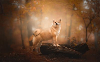 Shiba Inu, orange dog, cute animals, forest, dog, autumn, Japanese dogs