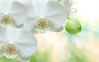 white orchids, tropical flowers, white flowers, orchids