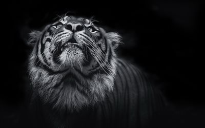 tiger, monochrome, 4k, predator, wildlife, tigers