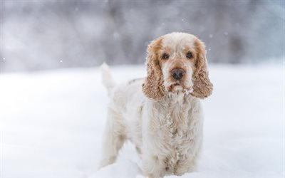 cute dog, Cocker Spaniel, winter, snow, furry dog, pets