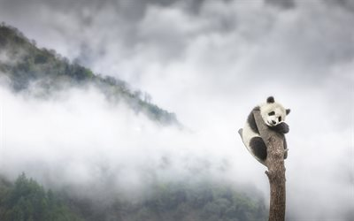 panda on a tree, fog, loneliness concepts, panda, sadness concepts, wildlife, wild animals