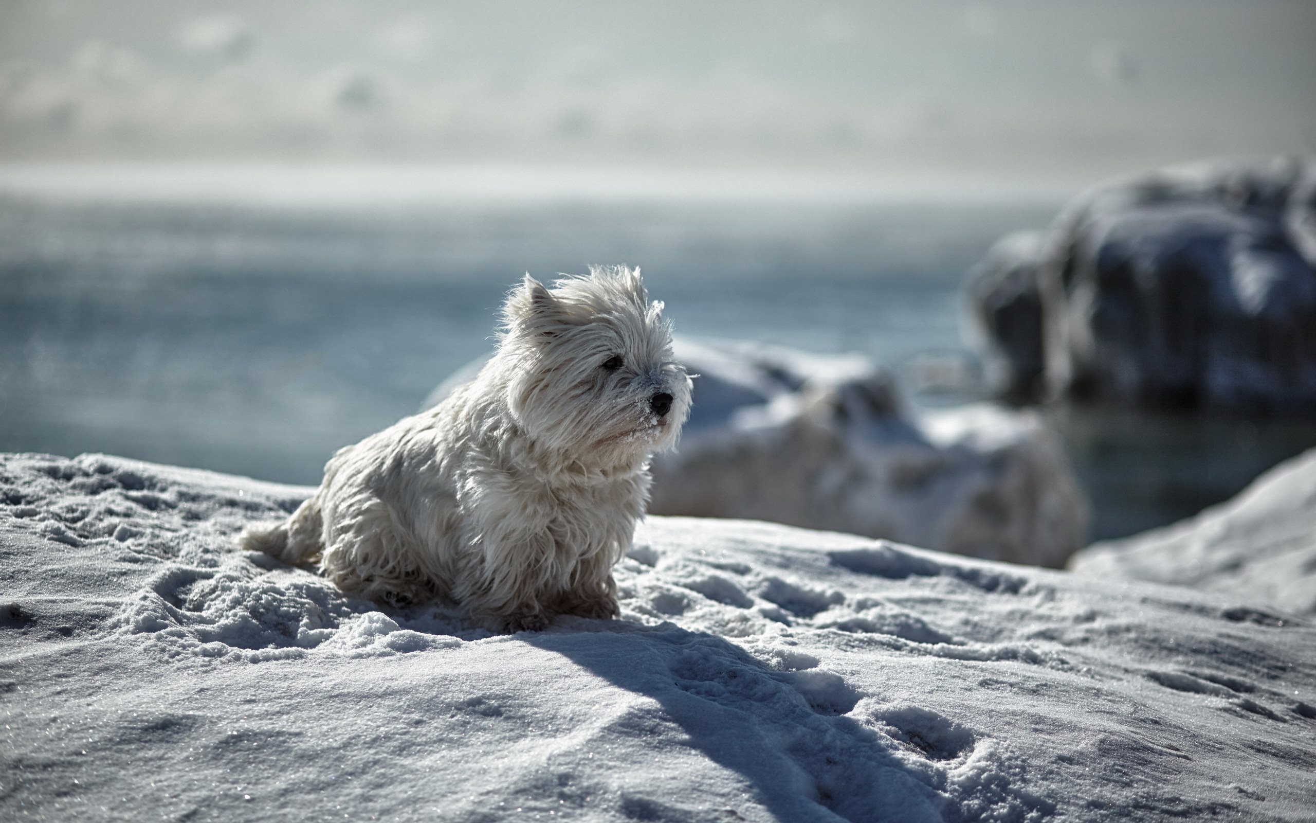 winter, fluffy dog, white dog, puppy, cute animals, snow