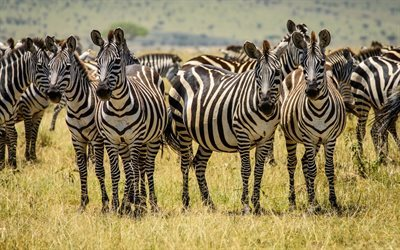 zebra, wildlife, field, Africa, herd of zebras