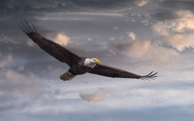 Bald Eagle, bird of prey, flying bird, symbol of USA, blue sky, eagles