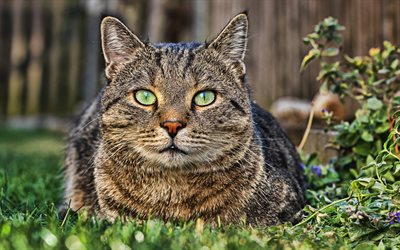 4k, American Shorthair Cat, close-up, lawn, domestic cats, cat with green eyes, pets, cats, cute cat, American Shorthair