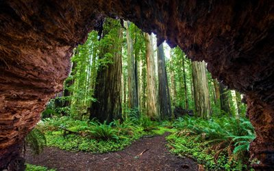 Sequoia, tall trees, ferns, forest, USA, California, Giant Forest, Sequoia National Park