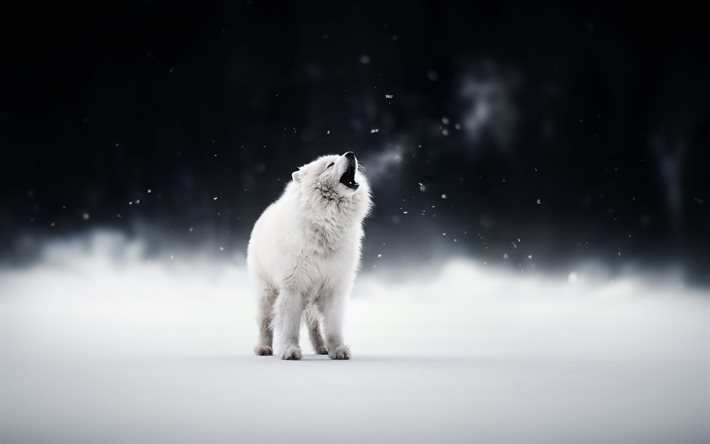Samoyed, white dog, winter, snow, cute animals, dogs, pets