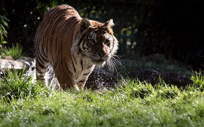 tiger, river, green grass, predators, de la faune, du tigre, dangerous animals, Sumatran tiger