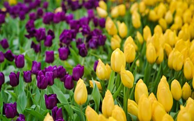 yellow tulips, purple tulips, spring flowers, tulips, background with tulips, beautiful flowers